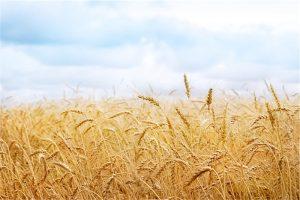 Buğday Başağı Gergi Tavan Resimleri