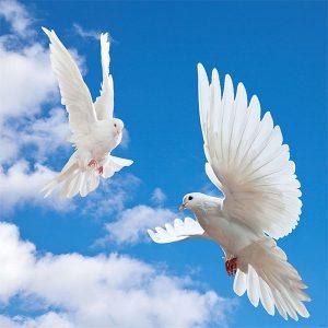 Gökyüzü beyaz güvercin gergi tavan resimleri