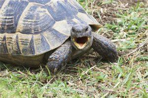 Gergi tavan kaplumbağa resimleri