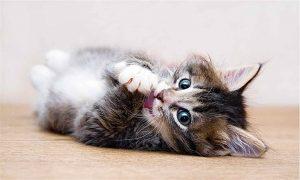 Gergi tavan kedi resimleri