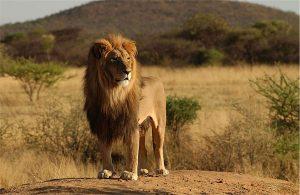 Gergi tavan aslan resimleri
